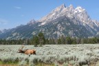 Grazing Elk in Grand Teton National Park